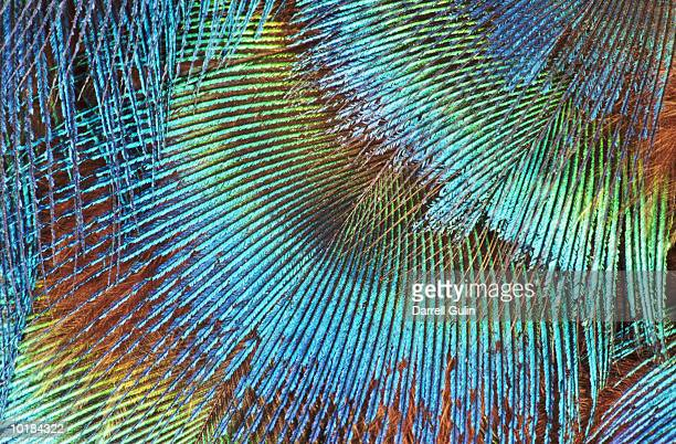 PATTERN OF PEACOCK NECK FEATHERS
