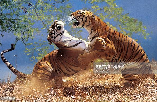 TWO TIGERS (PANTHERA TIGRIS) FIGHTING