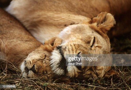 LION AND CUB (PANTHERA LEO) LYING DOWN : Stock Photo