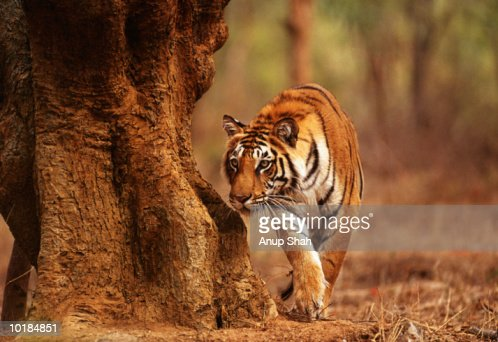 TIGER (PANTHERA TIGRIS) : Stock Photo