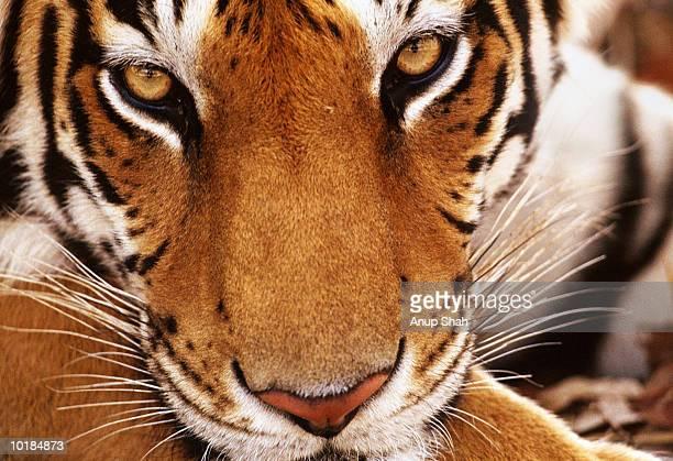 TIGER (PANTHERA TIGRIS) CLOSE UP