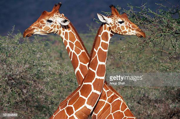 MALE GIRAFFES (GIRAFFA CAMELOPARDIS) LOCKING NECKS