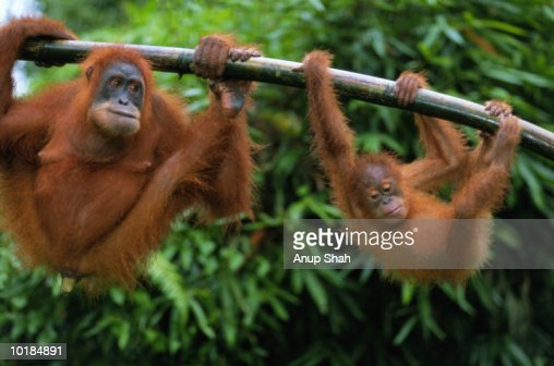 ORANGUTANS HANGING FROM BRANCH