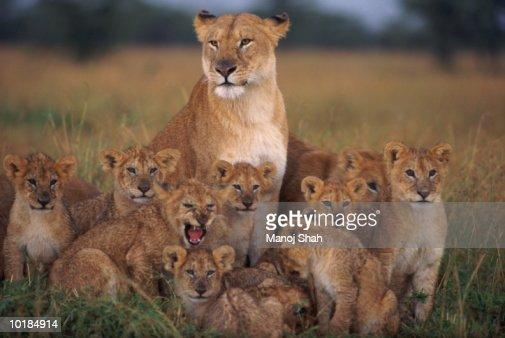 LIONESS AND CUBS (PANTHERA LEO) MASAI MARA, KENYA, AFRICA