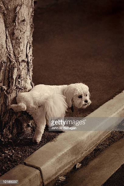 DOG URINATING AGAINST TREE (TONED B&W)