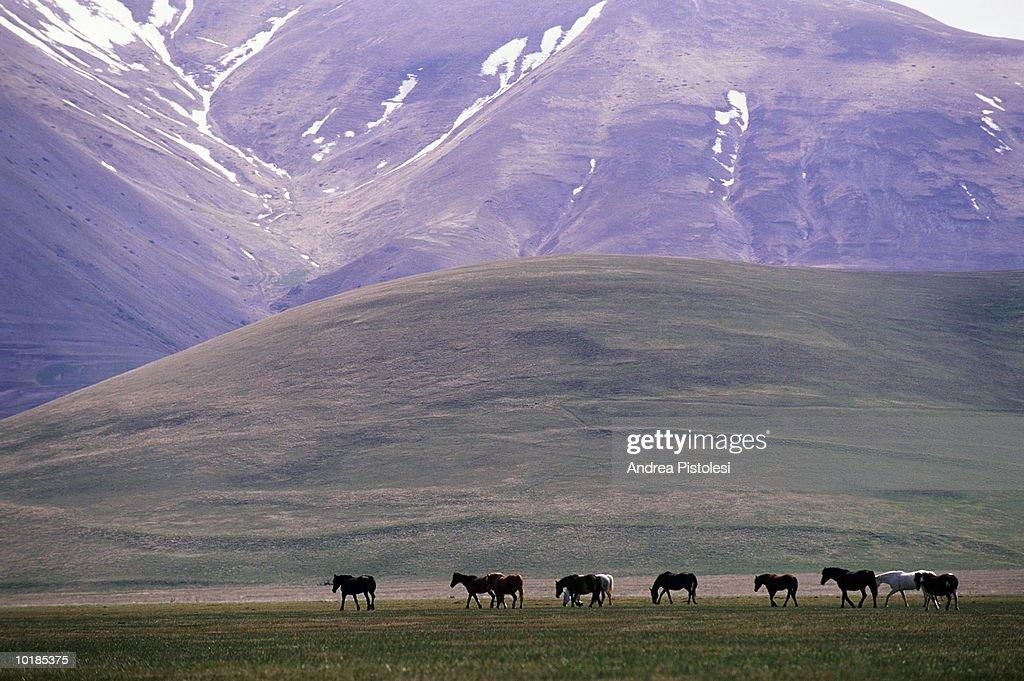 ITALY, UMBRIA, NORCIA, HORSES ON PIANO GRANDE PLATEAU : Stock Photo