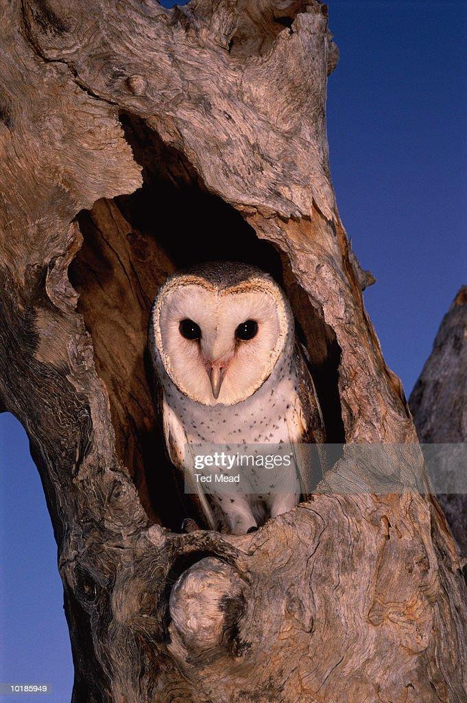 BARN OWL (TYTO ALBA) IN TREE NEST, WESTERN AUSTRALIA : Stock Photo