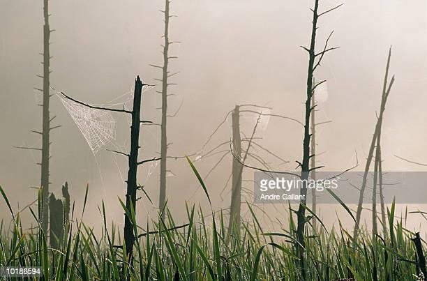 SPIDERWEBS ON DEAD TREES