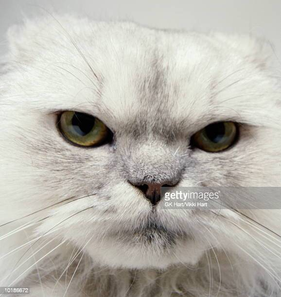 FACE OF GREY PERSIAN CAT, CLOSE-UP