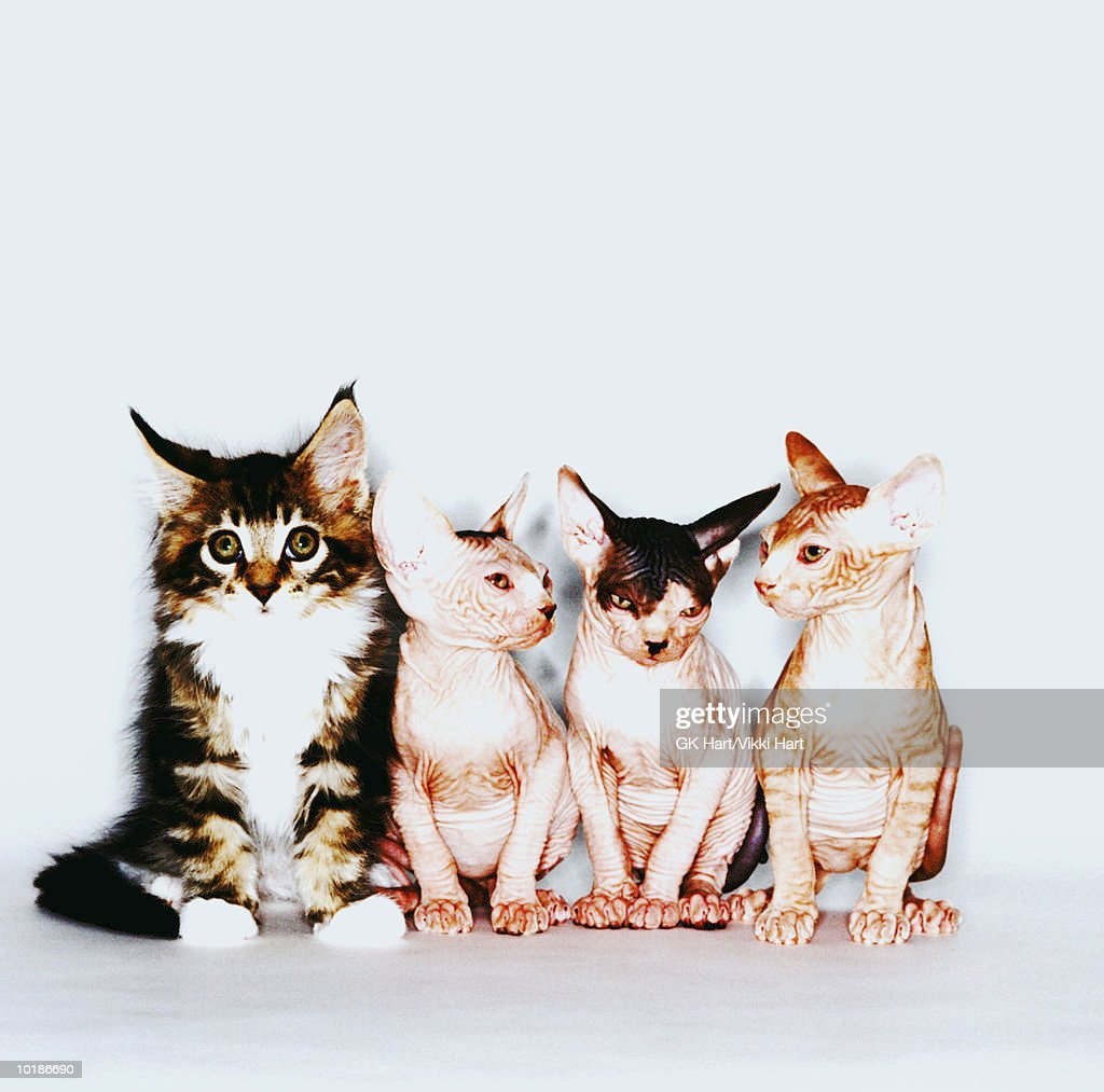 MAINE COON & THREE SPHINX CATS IN ROW : Stock Photo