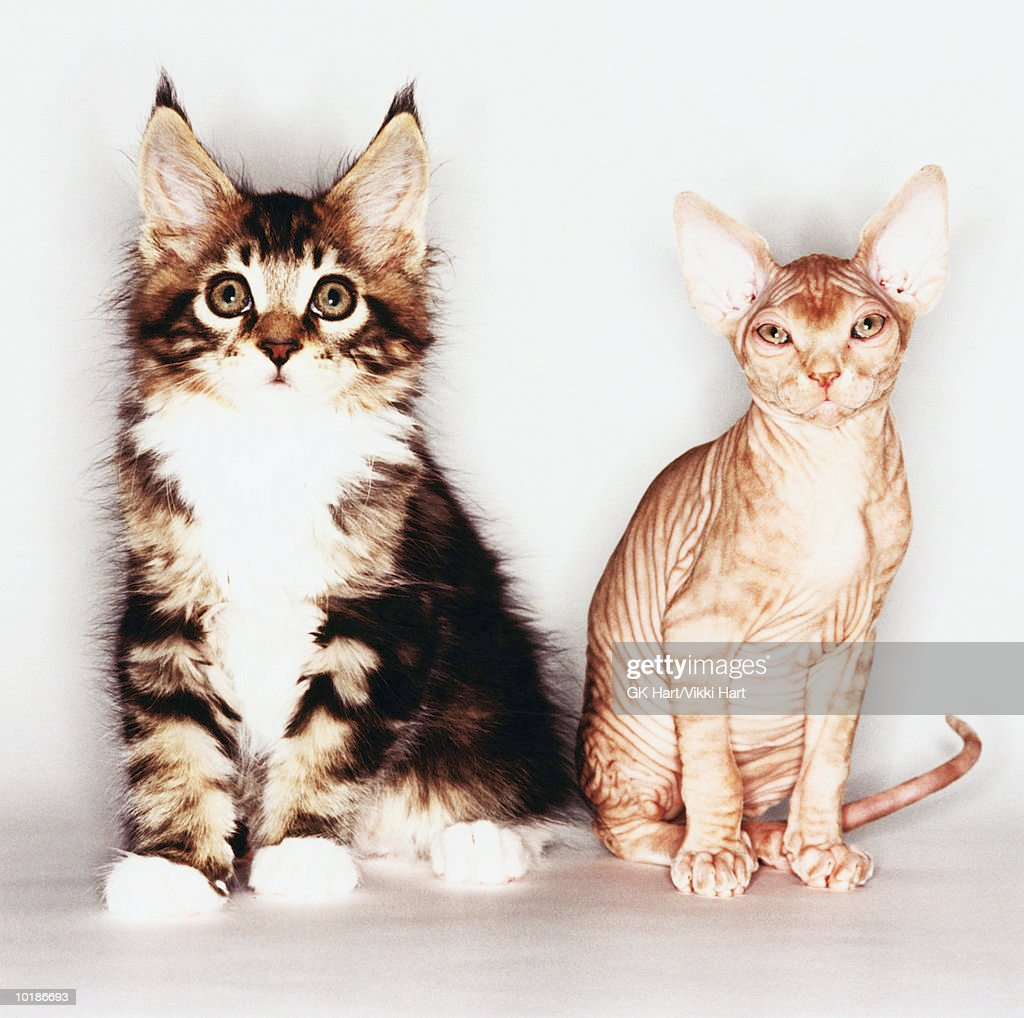 MAINE COON CAT AND SPHINX CAT TOGETHER : Stock Photo
