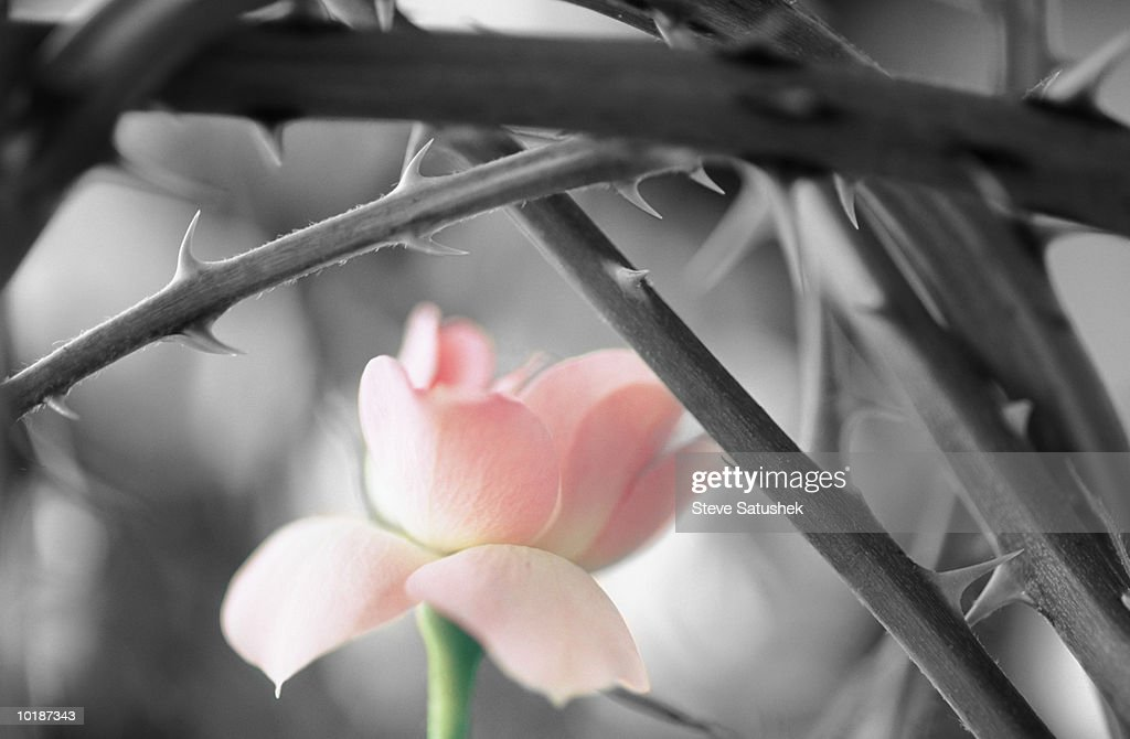 PINK ROSE AMONG THE THORNS : Stock Photo
