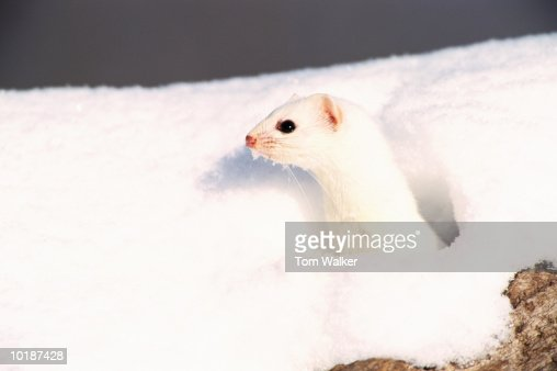 SHORT TAILED WEASEL LOOKING OUT OF HOLE