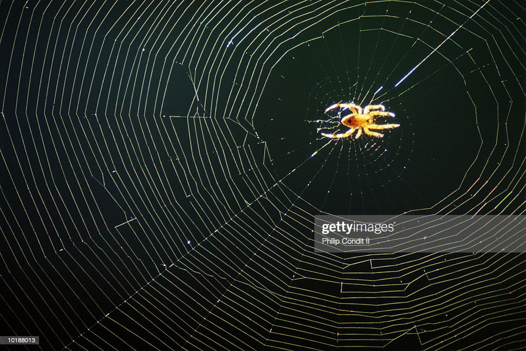 GOLDENROD SPIDER ON WEB, CALIFORNIA : Stock Photo