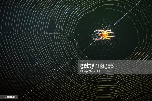 GOLDENROD SPIDER ON WEB, CALIFORNIA : Stock Photo