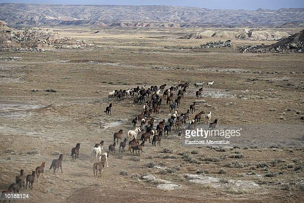 FAMILY BANDS OF WILD MUSTANGS RUNNING