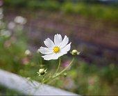 코스모스, 가을, 꽃, 여행, 사진, 필름카메라, 후지필름, 리얼라