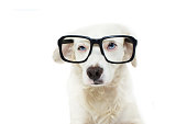 FUNNY AND SERIOUS DOG WEARING BLACK EYE GLASSES WITH BLUE EYES. ISOLATED SHOT AGAINST WHITE BACKGROUND.