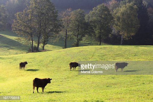 COWS IN A FIELD : Stock Photo