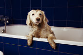 DIRTY DOG BATHING. TERRIER PUPPY ON BLUE BATHTUB WITH PAWS HANGING OVER EDGE.