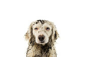 DIRTY DOG FACE. PUPPY AFTER PLAY INA MUD PUDDLE. ISOLATED SHOT ON WHITE BACKGROUND.