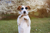 PORTRAIT FUNNY JACK RUSSELL DOG HIGH FIVE AND STANDING ON TWO LEGS, WEARING SUMMER EYEGLASSES AND DEFOCUSED NATURAL SPRING FLORAL BACKGROUND.