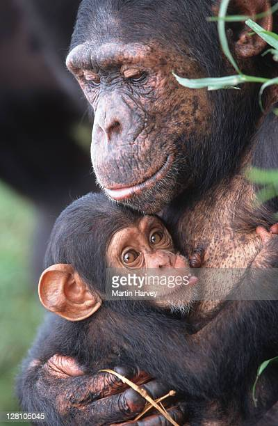 CHIMPANZEE MOTHER NURTURING HER BABY. PAN TROGLODYTES. CHIMFUNSHI CHIMP ORPHANAGE. ZAMBIA