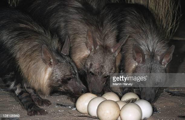 BROWN HYAENAS, HYAENA BRUNNEA, RAIDING OSTRICH NEST TO EAT THE EGGS. WEST COAST. NAMIBIA
