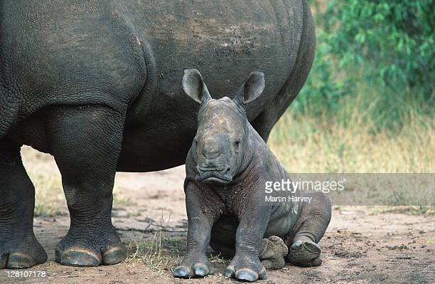 WHITE RHINOCEROS. YOUNG CALF WITH ADULT. CERATOTHERIUM SIMUM. SOUTH EASTERN AFRICA.