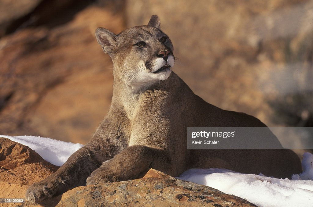 COUGAR ON SNOW. UINTA NF, UT : Stock Photo