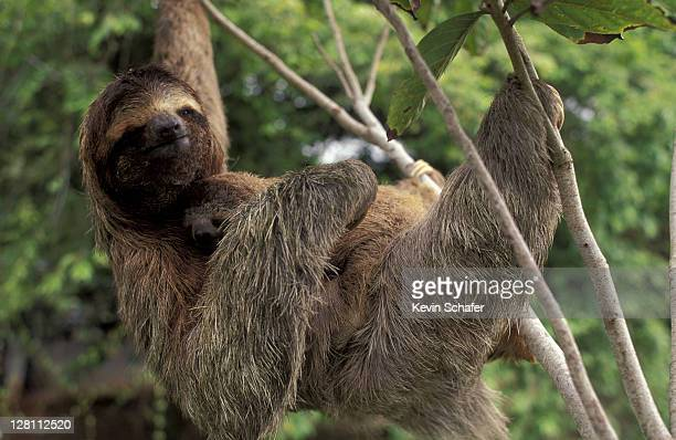 THREE-TOED SLOTH. BRADYPUS VARIEGATUS. CORCOVADO NATIONAL PARK. COSTA RICA.