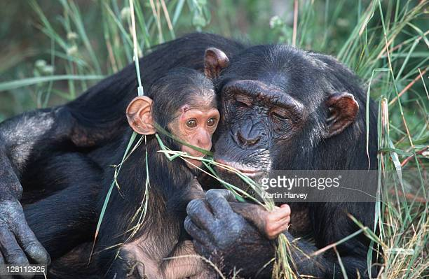 CHIMPANZEE MOTHER, PAN TROGLODYTES,NURTURING HER BABY.CHIMFUNSHI CHIMP ORPHANAGE. ZAMBIA