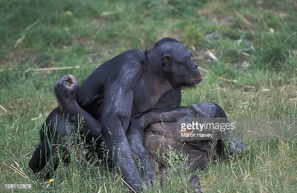 BONOBO CHIMPANZEES, PAN PANISCUS, FACE-TO-FACE MATING. ENDANGERED. TROPICAL RAINFOREST. ZAIRE/CONGO