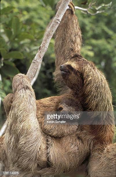 THREE-TOED SLOTH AND YOUNG HANGING FROM TREE. CORCOVADO NP. COSTA RICA