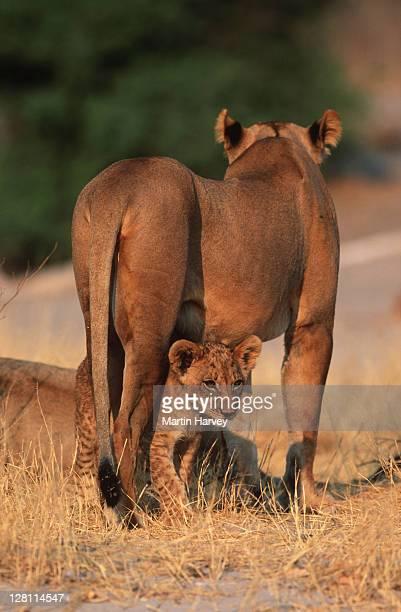 LION CUB, PANTHERA LEO, WITH MOTHER. CHOBE NATIONAL PARK. BOTSWANA.