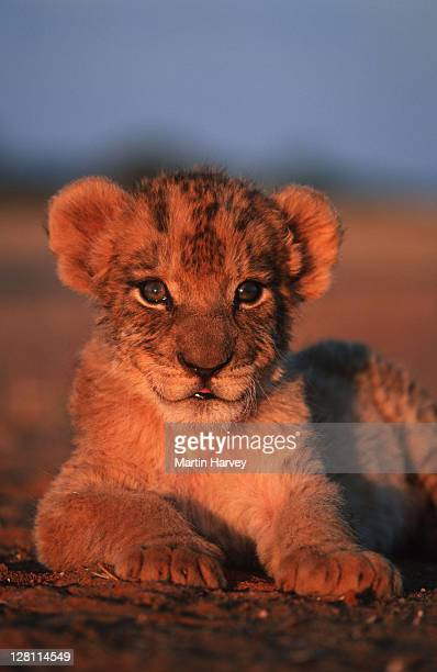 PORTRAIT OF TWO MONTH OLD LION CUB. PANTHERA LEO.