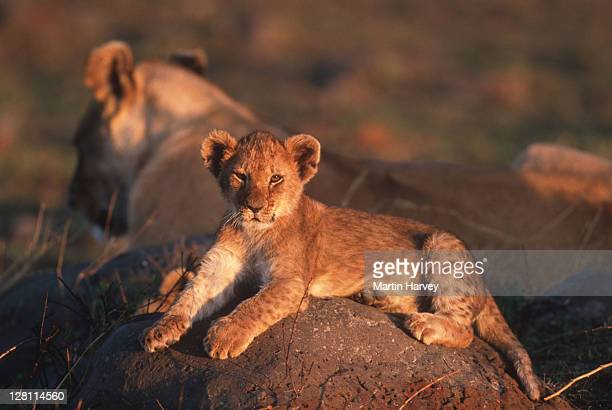 LION CUB. PANTHERA LEO. CHOBE NATIONAL PARK. BOTSWANA