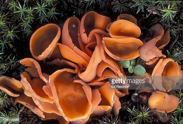 ORANGE PEEL- CUP FUNGUS. ALEURIA AURANTIA. FRUITING BODY AN APOTHECIUM-BRIGHT ORANGE. EDIBLE. MICHIGAN. ASCOMYCETES (SAC FUNGUS)