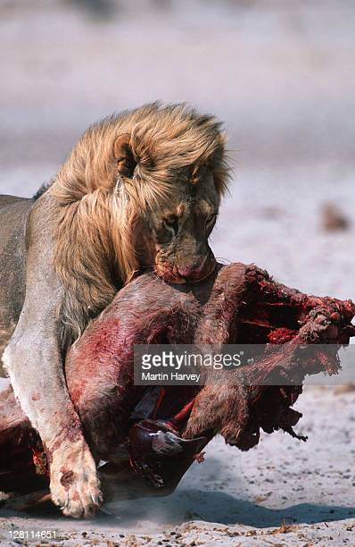 MALE LION DRAGGING PREY TO COVER. PANTHERA LEO. ETOSHA NATIONAL PARK. NAMIBIA.