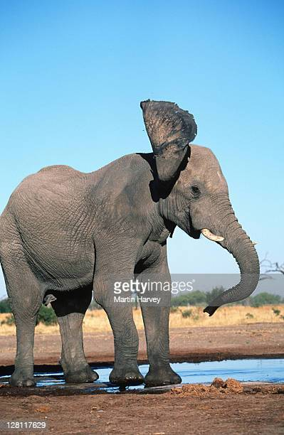 AFRICAN ELEPHANT SHAKING HEAD, AGGRESIVE WARNING BEHAVIOR. LOXODONTA AFRICANA. - CHOBE NATIONAL PARK. BOTSWANA.