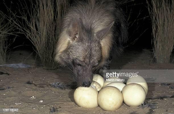 BROWN HYAENA, HYAENA BRUNNEA. RAIDING OSTRICH NEST TO EAT THE EGGS. NAMIBIA.
