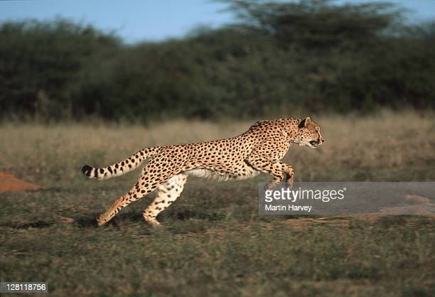 SIDE VIEW OF A CHEETAH, - ACINONYX JUBATUS, RUNNING. - CAN RUN UP TO SPEEDS OF UP - TO 120 KM/HR.