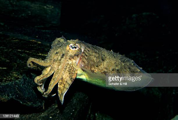COMMON CUTTLEFISH SEPIA OFFICINALIS