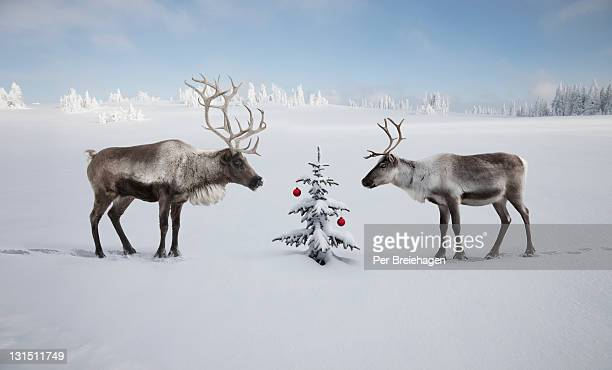 TWO REINDEER LOOKING AT CHRISTMAS TREE