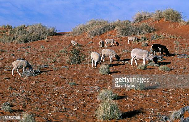 SOUTHERN AFRICA. KALAHARI  DESERT. LIVESTOCK FARMING CAUSES OVERGRAZING AND  DESERTIFICATION