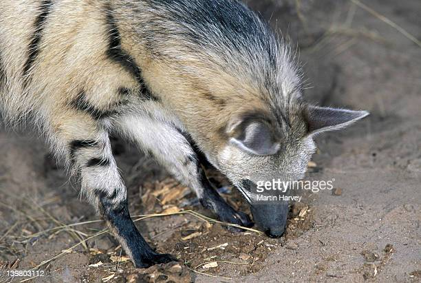 AARDWOLF, PROTELES CRISTATUS. SEARCHING FOR INSECTS. NAMIBIA. NOCTURNAL PREDATOR OF TERMITES IN SOUTHERN & EAST AFRICA.