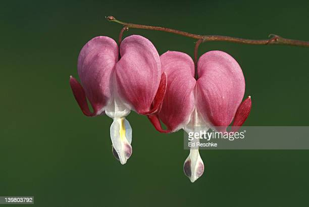CLOSEUP OF OLD FASHIONED BLEEDING HEART, DICENTRA SPECTABILIS. POPULAR LONG STEMMED GARDEN PERENNIAL. HEART SHAPED, ATTRACTS HUMMINGBIRDS