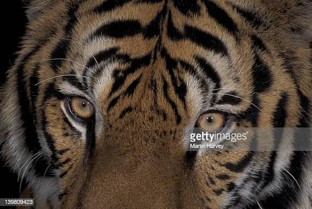TIGER, PANTHERA TIGRIS. PORTRAIT. ENDANGERED SPECIES. ASIA.