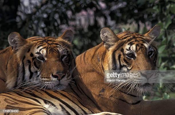 PAIR OF TIGERS. (PANTHERA TIGRIS). ENDANGERED. ASIA.