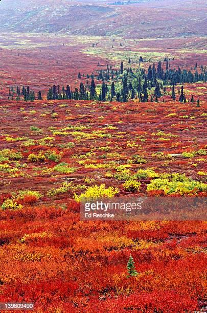 TUNDRA LANDSCAPE AND SOME TAIGA. NORTHERN BOREAL CONIFEROUS FOREST. DENALI NP, ALASKA. USA